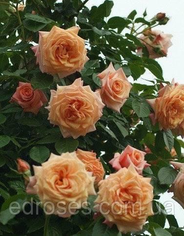 Роза эрик таберли