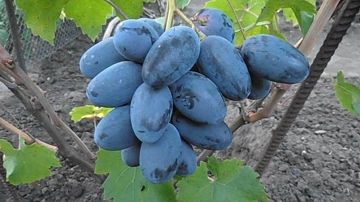 Виноград велика: особенности сорта и советы по разведению