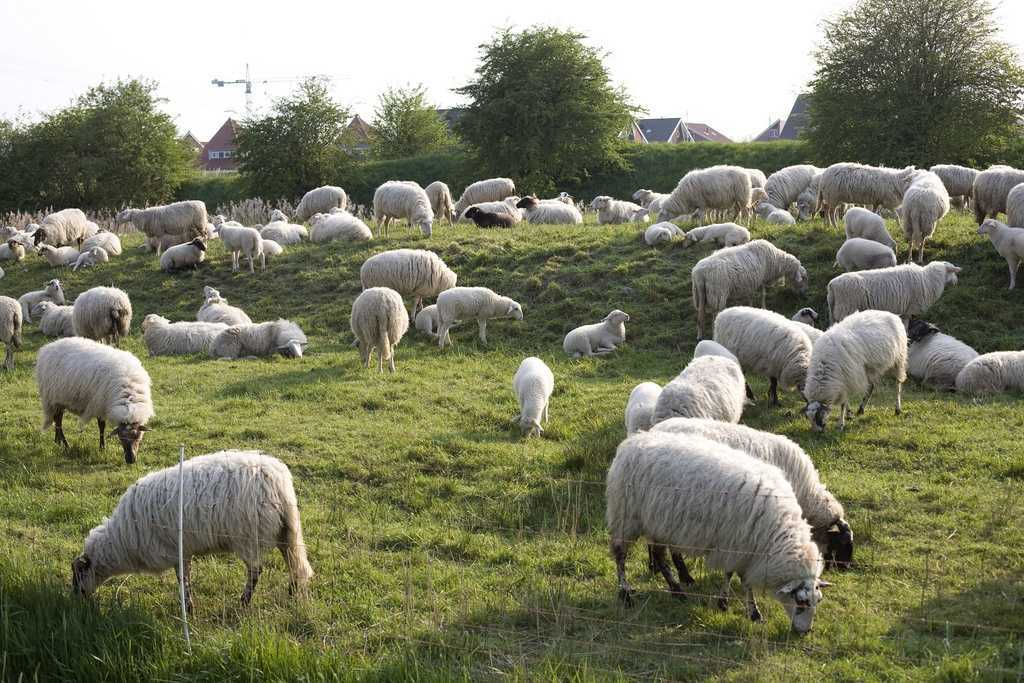 Разведение овец как бизнес: особенности и специфика