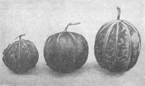 Как привить арбуз на лагенарию: когда можно делать прививку арбуза на тыкву