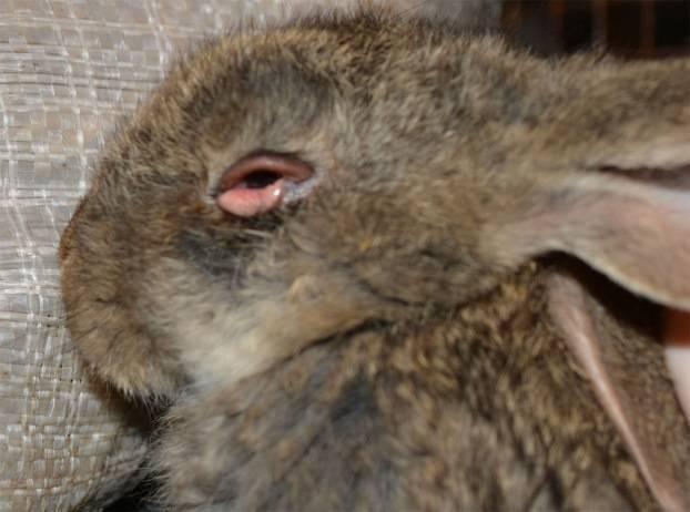 Миксоматоз у кроликов: симптомы и лечение в домашних условиях
