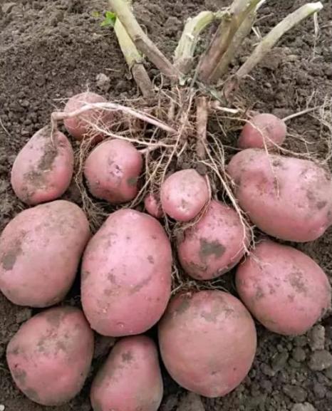 Картофель беллароза описание сорта фото