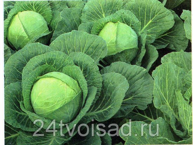 Ранняя белокочанная капуста: лучшие сорта и уход за культурой