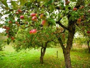 Как правильно должна выполняться обработка яблонь от вредителей и болезней летом