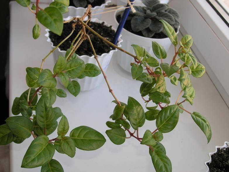 Почему у китайской розы желтеют и опадают листья и бутоны. что делать для лечения?
