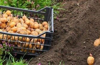 Посадка картофеля и уход за ним в открытом грунте