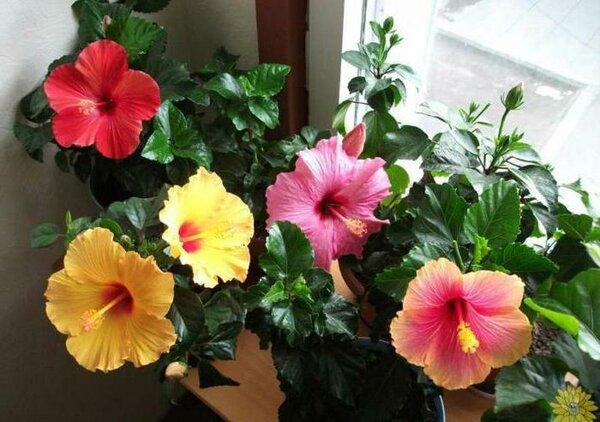 Листья у комнатной китайской розы желтеют и опадают: почему она их сбрасывает, что с ней делать, чтобы устранить проблему, какой нужен уход в домашних условиях?
