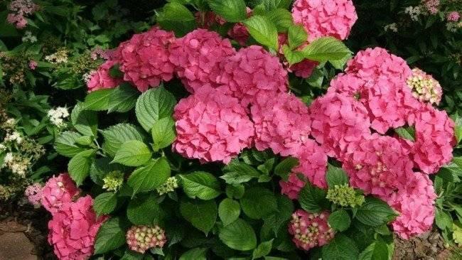 Почему у гортензии мелкие цветы: причины, решения проблемы