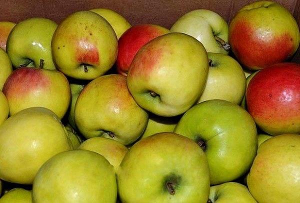 Характеристика яблони синап орловский: описание