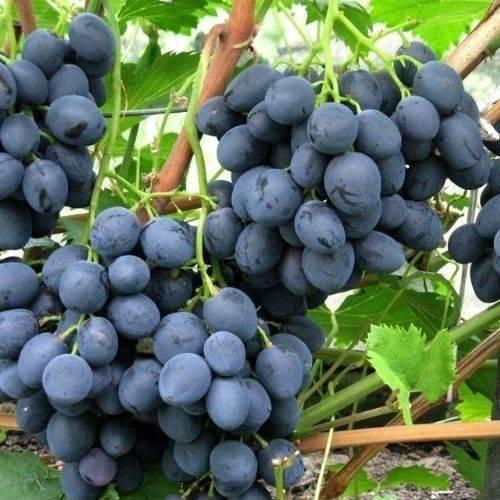 Описание сорта винограда сфинкс: фото и отзывы   vinograd-loza