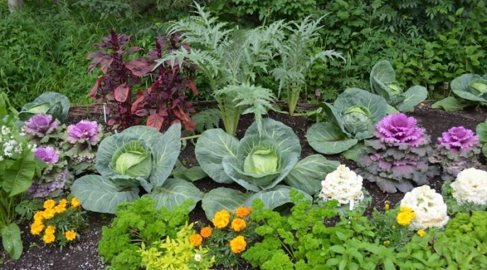 Соседи щавеля по грядке. что можно сажать рядом с растением и какие культуры нежелательны?