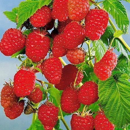 Как посадить и вырастить малину «крепыш»? характеристики сорта