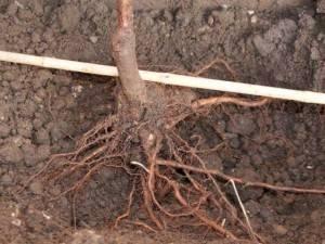 Как вырастить персик из косточки — уход, содержание и технология выращивания персика в домашних условиях (95 фото)