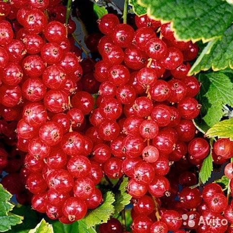 Смородина йонкер ван тетс: описание сорта красной смородины, выращивание – посадка и уход