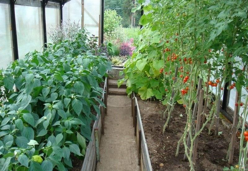 Как вырастить баклажаны в открытом грунте и в теплице.