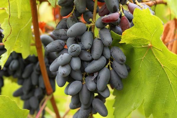 Виноград негруля