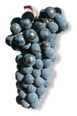 Гренаш (гарнача, garnacha, grenache) — сорт винограда