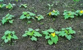 Выращивание кабачков в открытом грунте - подробная информация и агротехнология!
