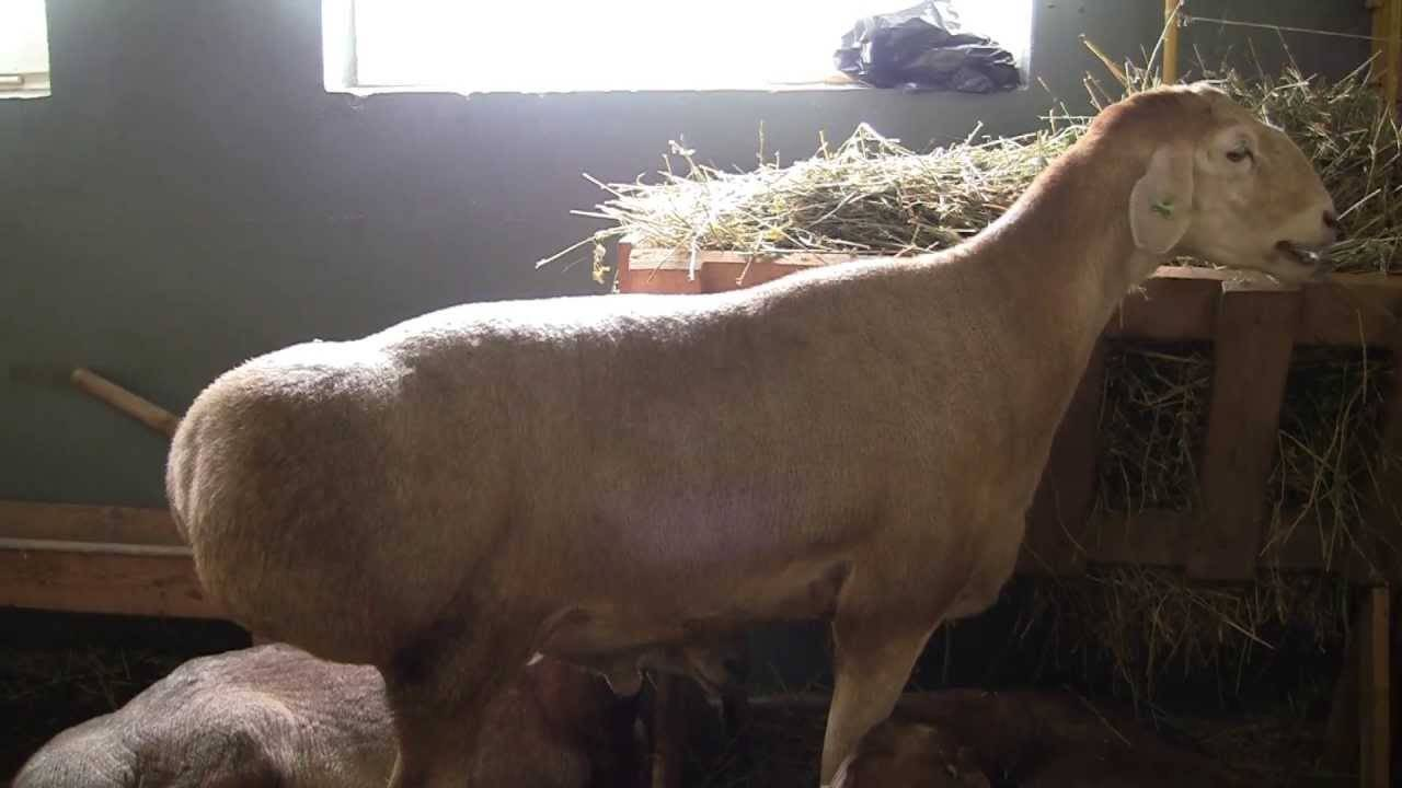 Эдильбаевская порода овец - уход и разведение