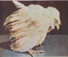Кокцидиоз у кур