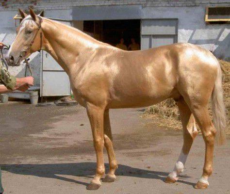 Чубарая масть лошади: описание и фото масти