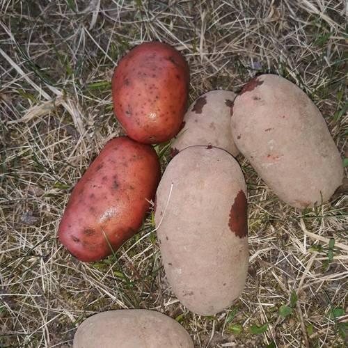 """Картофель """"джувел"""": описание сорта, фото и характеристики семенной картошки"""