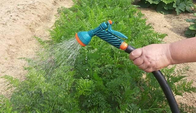 Нужно ли поливать морковь после посадки