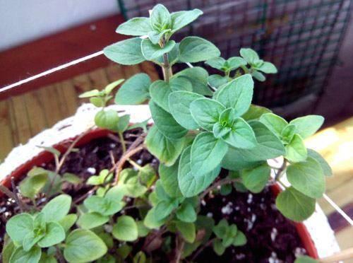 Выращиваем медонос – душицу (орегано), прямо у себя в саду!