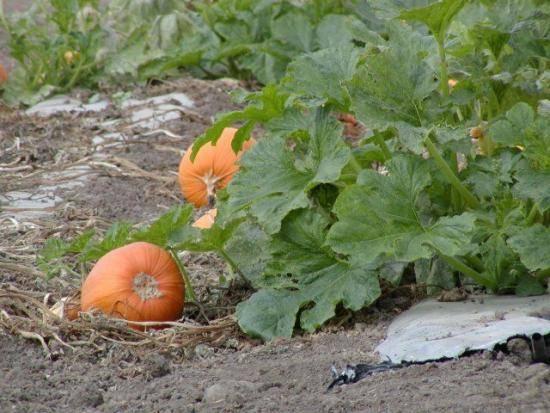 Как выращивать тыкву: посадка, уход в домашних условиях семенами и рассадой