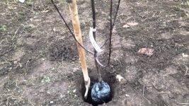 Слива в сибири: выращивание, уход, вредители