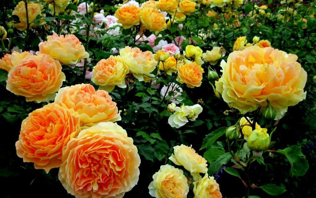 Розы: признаки недостатка элементов питания