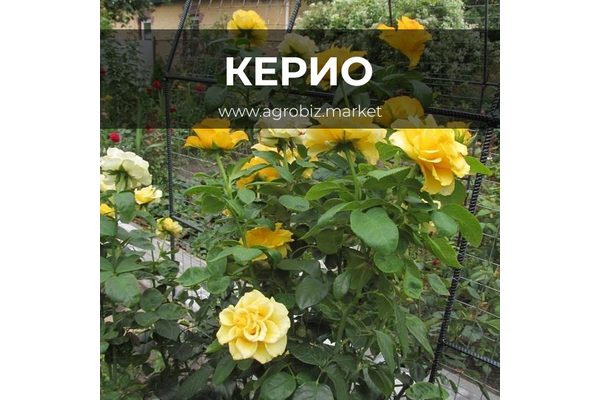 Описание и выращивание розы керио - общая информация - 2020