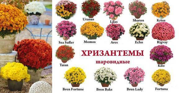 Хризантема – королева осени; описание и содержание, полив и посадка
