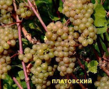 Виноград платовский в подмосковье отзывы