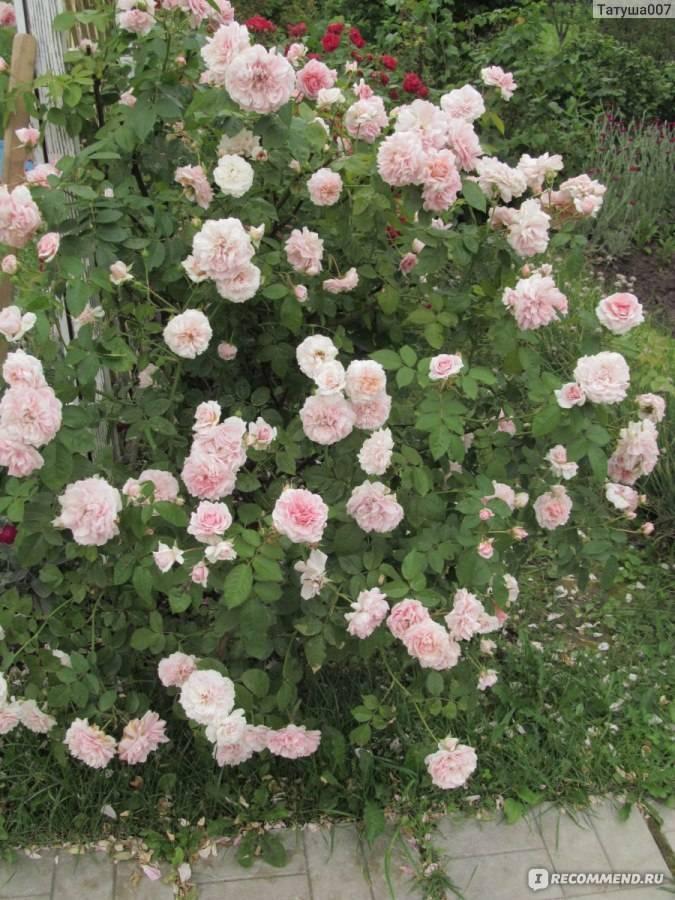 Для истинных ценителей растений — плетистая красавица роза нью даун. полная информация о цветке