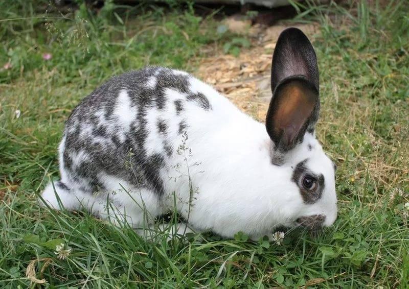 Кролик бабочка: описание продуктивных характеристик с фото