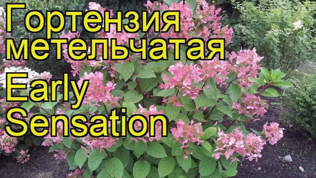Гортензия эрли сенсейшен или ранняя сенсация (early sensation)