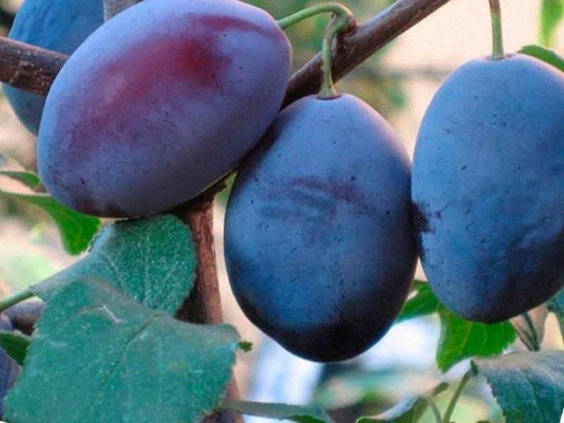 Слива смолинка — вкусный и крупноплодный сорт