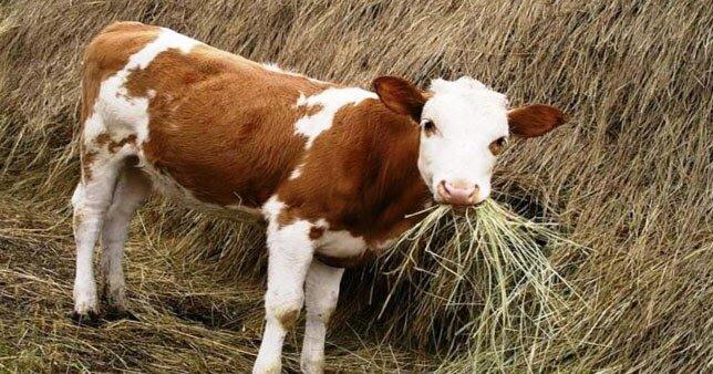 Особенности откорма бычков на мясо: эффективный рацион и правила кормления
