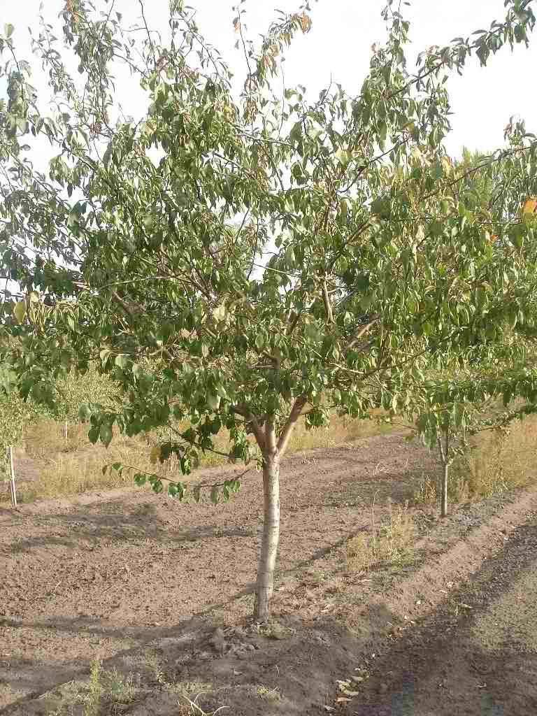 Слива персиковая, описание сорта, фото: важная информация для садоводов