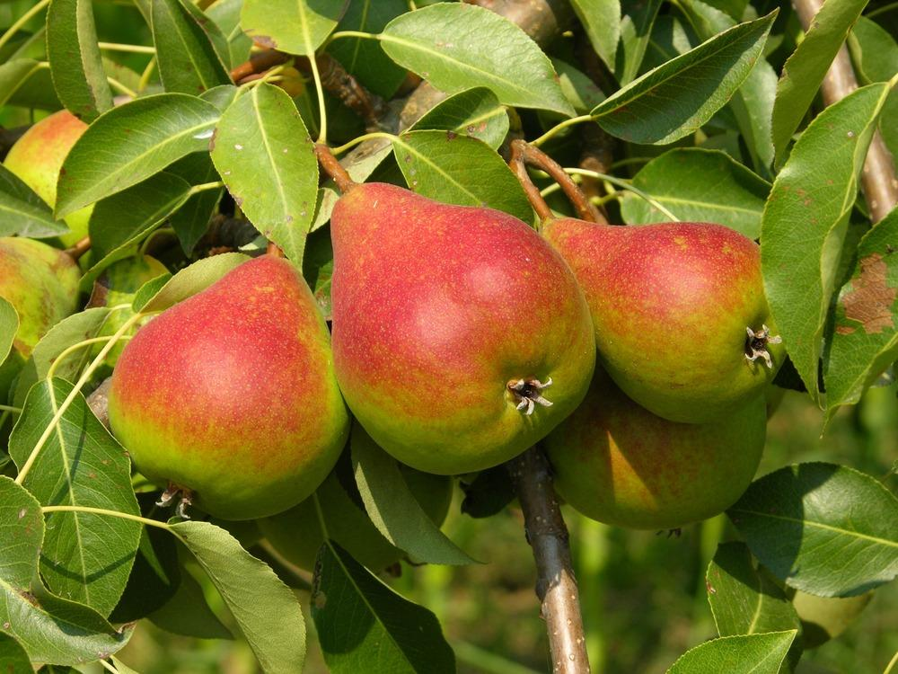 "Груша ""краснобокая"": описание сорта, характеристика дерева и плодов, фото"