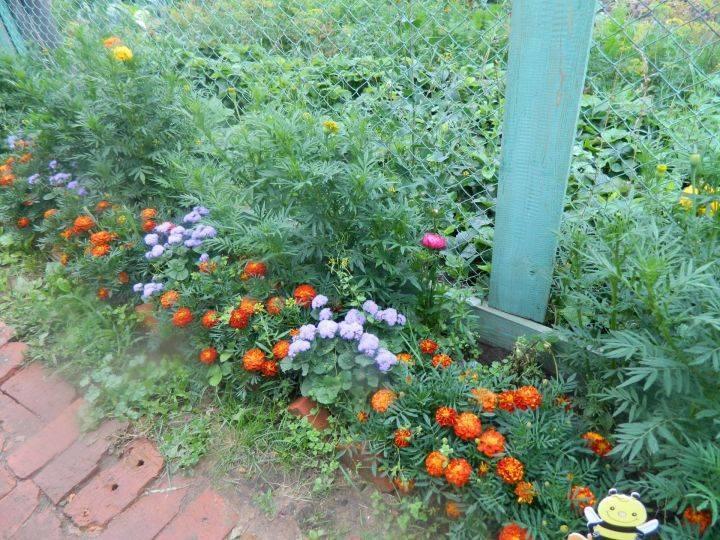 Портулак огородный: фото, как вывести дикий сорняк с огорода