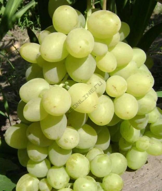 Виноград «супер экстра»: описание, отзывы, фото