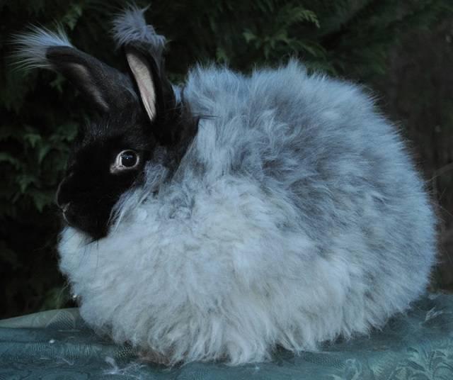 Ангорский кролик: описание и характеристика, условия содержания и уход за шерстью