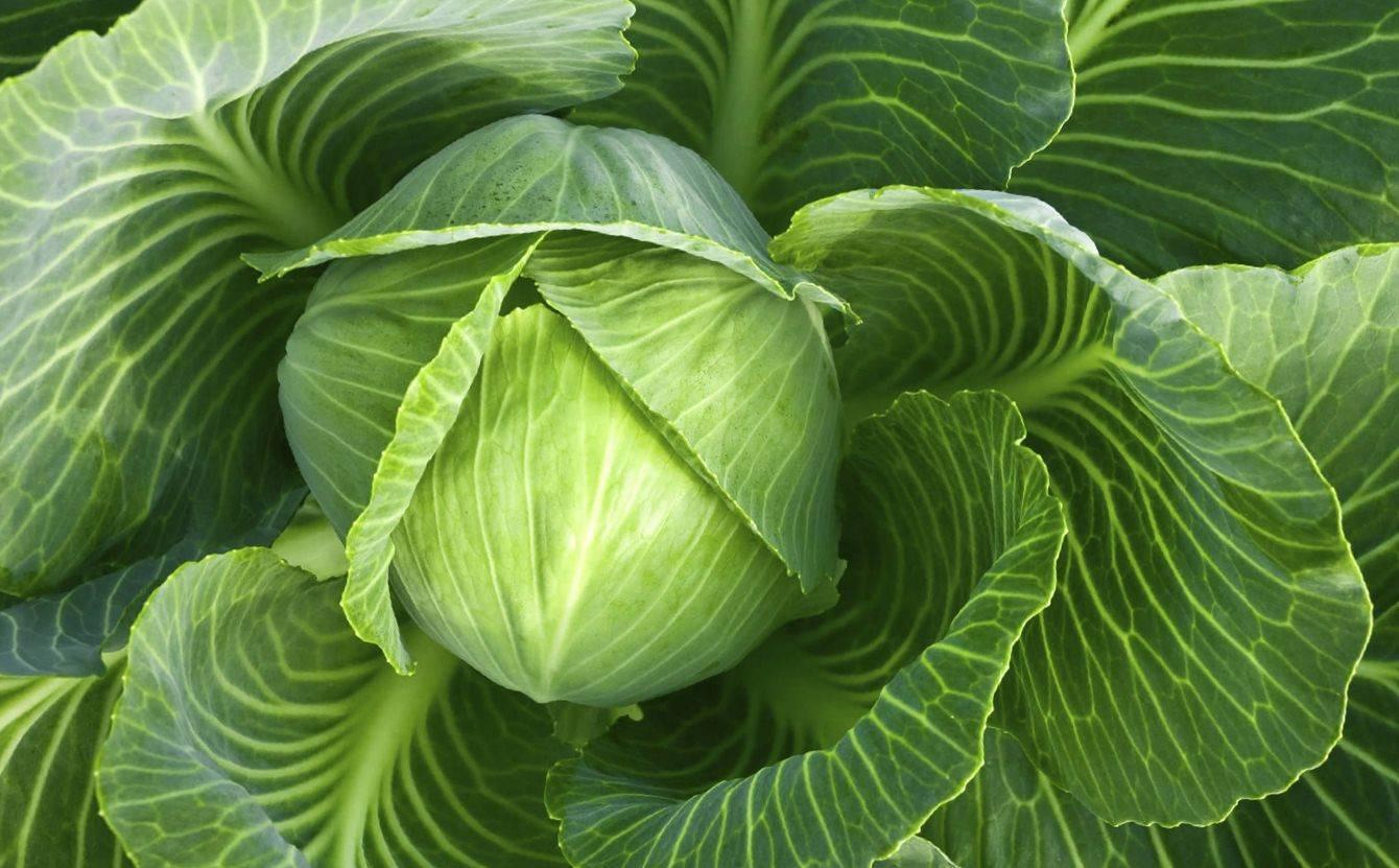 Отличный урожай белокочанной капусты благодаря подкормкам