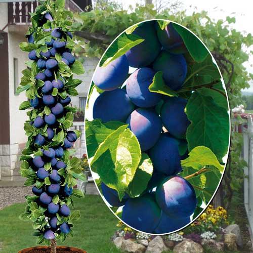 Слива колоновидная сорта блю свит: описание и характеристика сорта, особенности посадки и ухода за деревом, фото