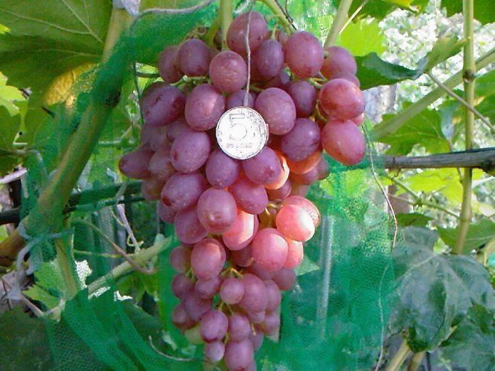 Морозоустойчивые сорта винограда для центральной россии, без укрытия