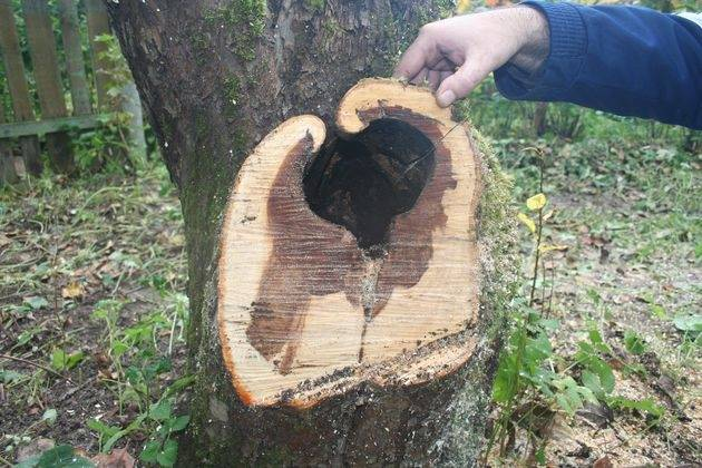 Специалисты рассказывают, что делать, когда отслоилась кора на яблоне?