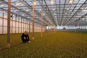 Посадка редиски в теплице ранней весной: можно ли начать посев в марте, как вырастить, а также что нужно делать, когда семена подготовлены?