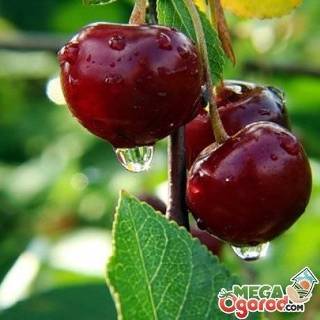 Описание декоративной железистой вишни